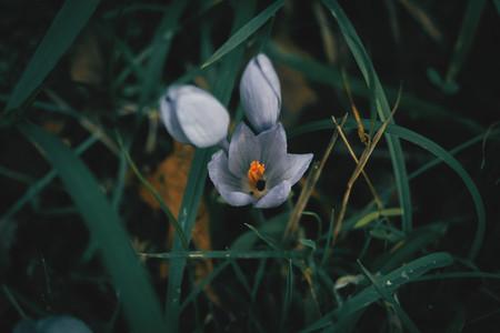 Blue flower of crocus nudiflorus  saffron
