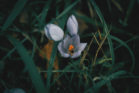 Blue flower of crocus nudiflorus saffron