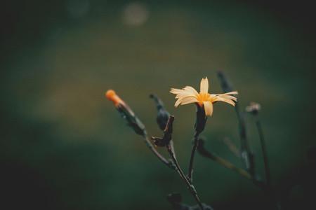 Yellow flower of scolymus hispanicus