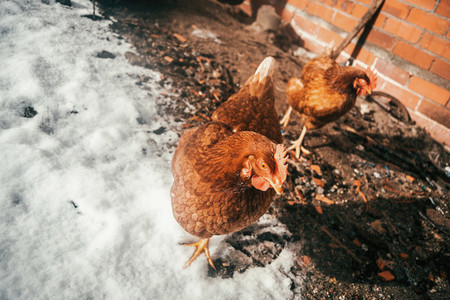 ecological hens in the snow
