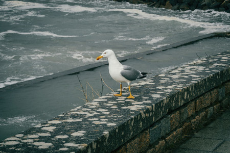 A seagull perched on a stone near the sea in baiona  galicia  sp