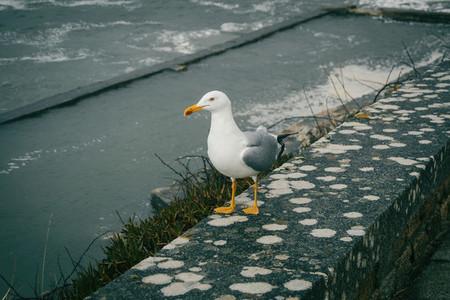 A seagull perched on a stone near the sea in baiona galicia sp