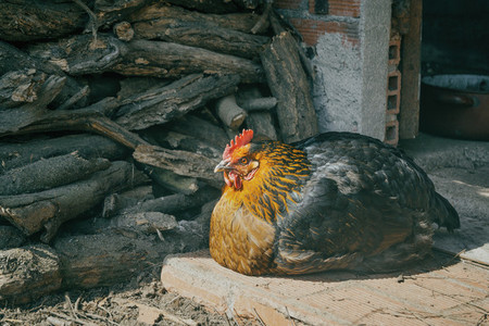 ecological animal  black hen lying enjoying his freedom