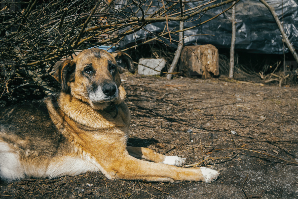 a big dog without breed guarding a house in a rural village