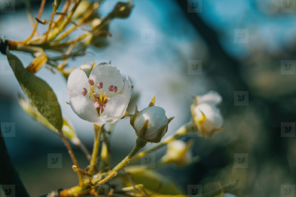a white flower of apple tree in natural  malus domestica