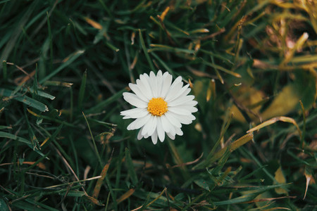 a single daisy seen from above with its white flower