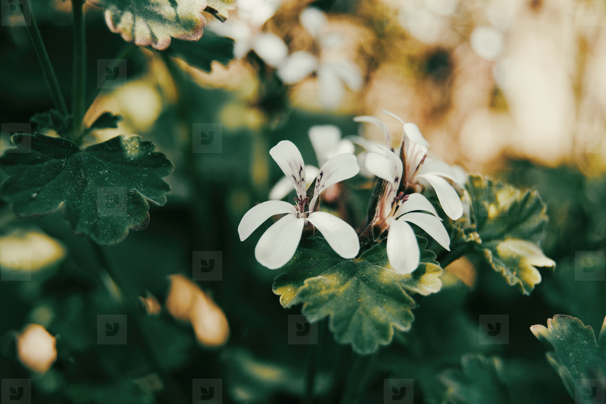 white geranium flowers with orange sun light