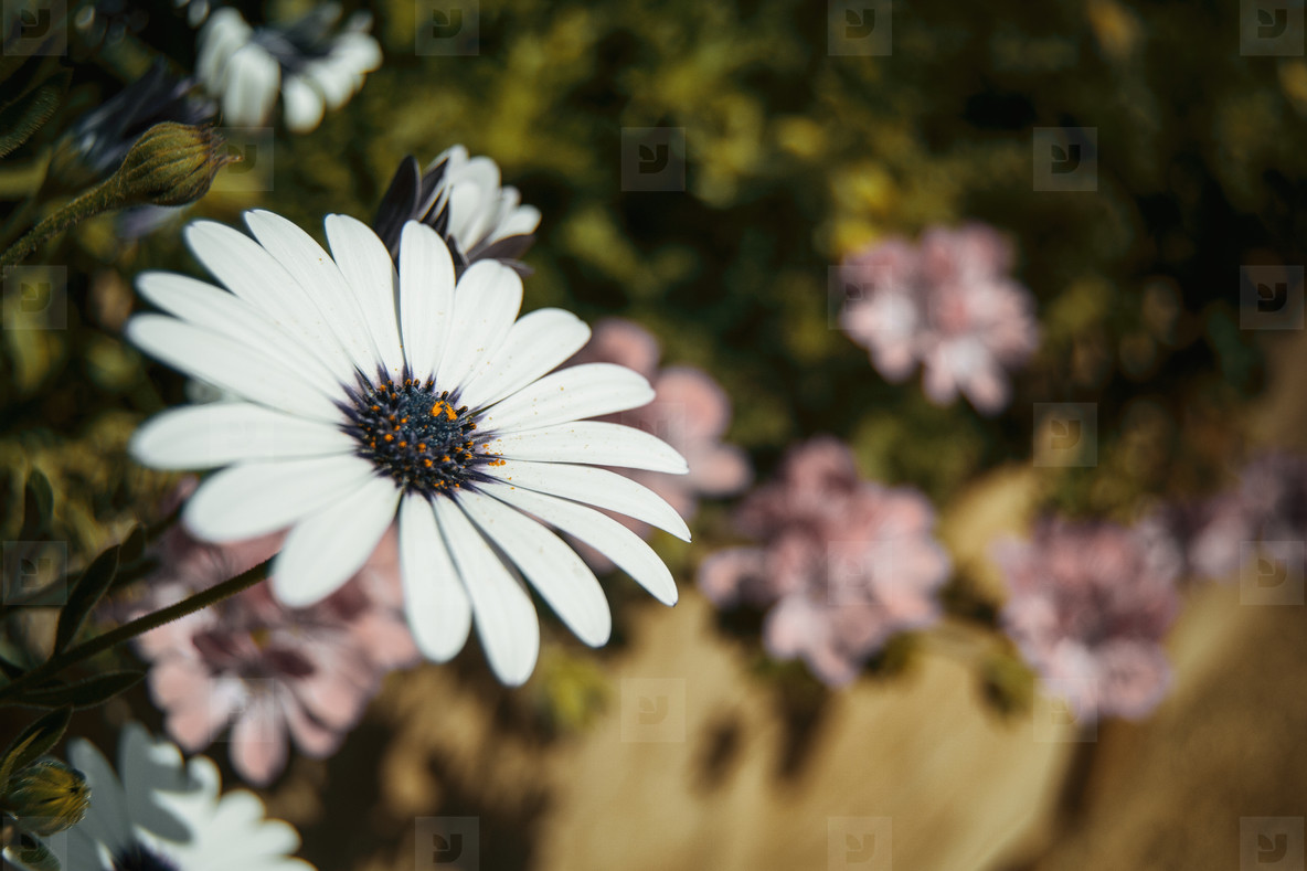 a single white osteospermum flower outdoors