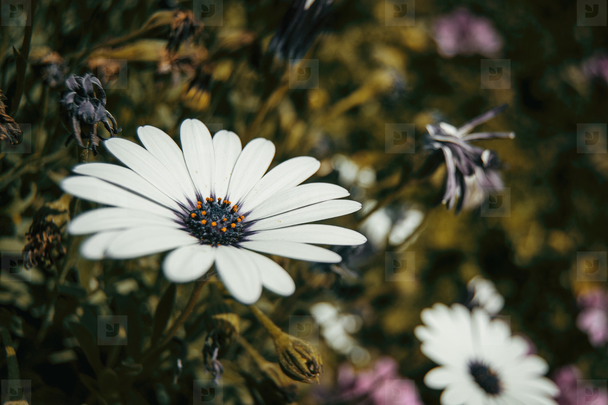 Photos a single white osteospermum flower outdoors youworkforthem a single white osteospermum flower outdoors mightylinksfo