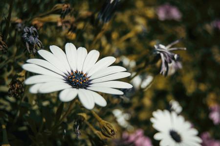 a single white osteospermum flower outdoors