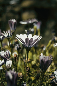 a single white osteospermum flower seen from below