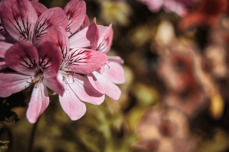 close up geranium roses flowers with natural light