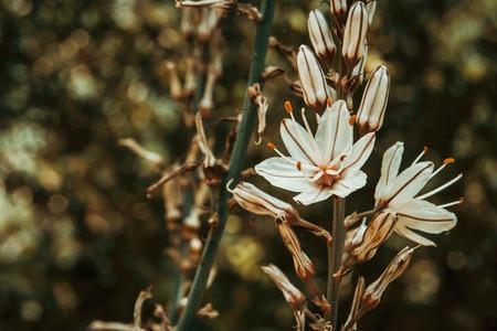 a single white flower of asphodelus