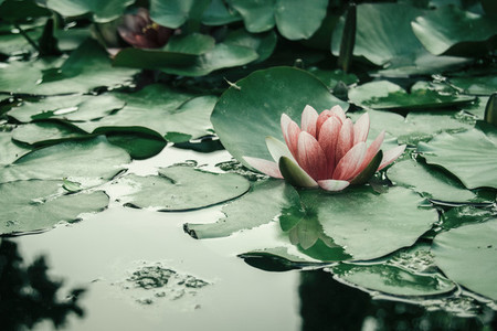 pink aquatic flower floating on a lake with leaves