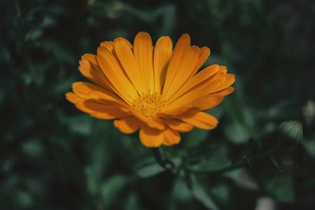 a single orange flower of calendula officinalis