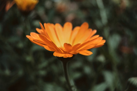 a single orange flower of calendula officinalis