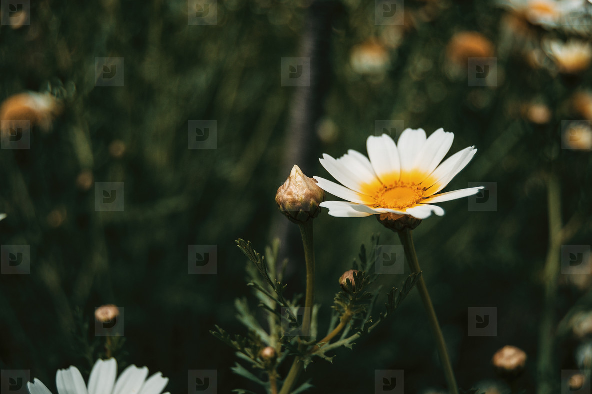 a single white daisy flower in the meadow