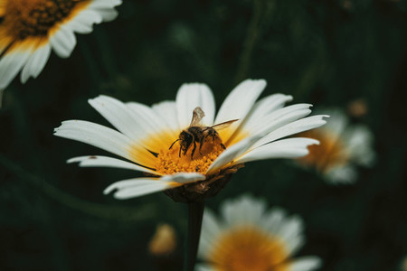 bee catching pollen from a white daisy close up view