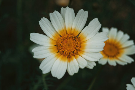 overhead view of a daisy with white and yellow petals
