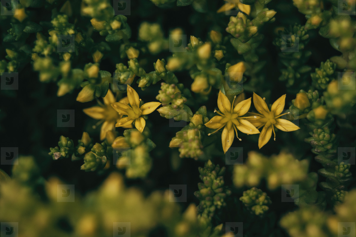 yellow flowers of sedum sexangulare seen from above