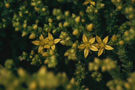 yellow flowers of sedum sexangulare seen from above