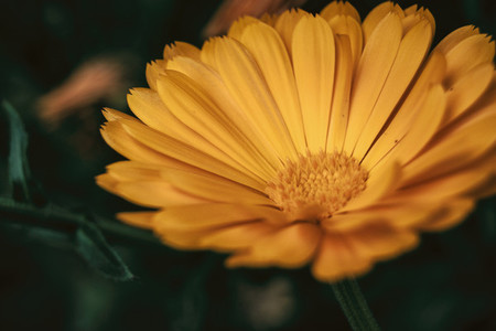 a single orange flower of calendula officinalis close up