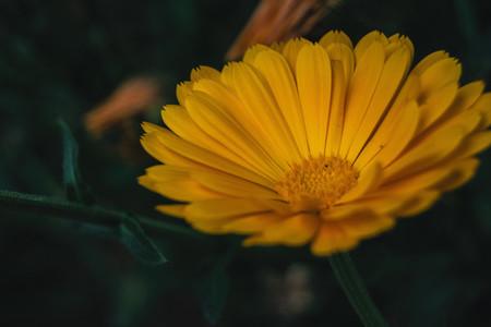a single orange flower of calendula officinalis close up
