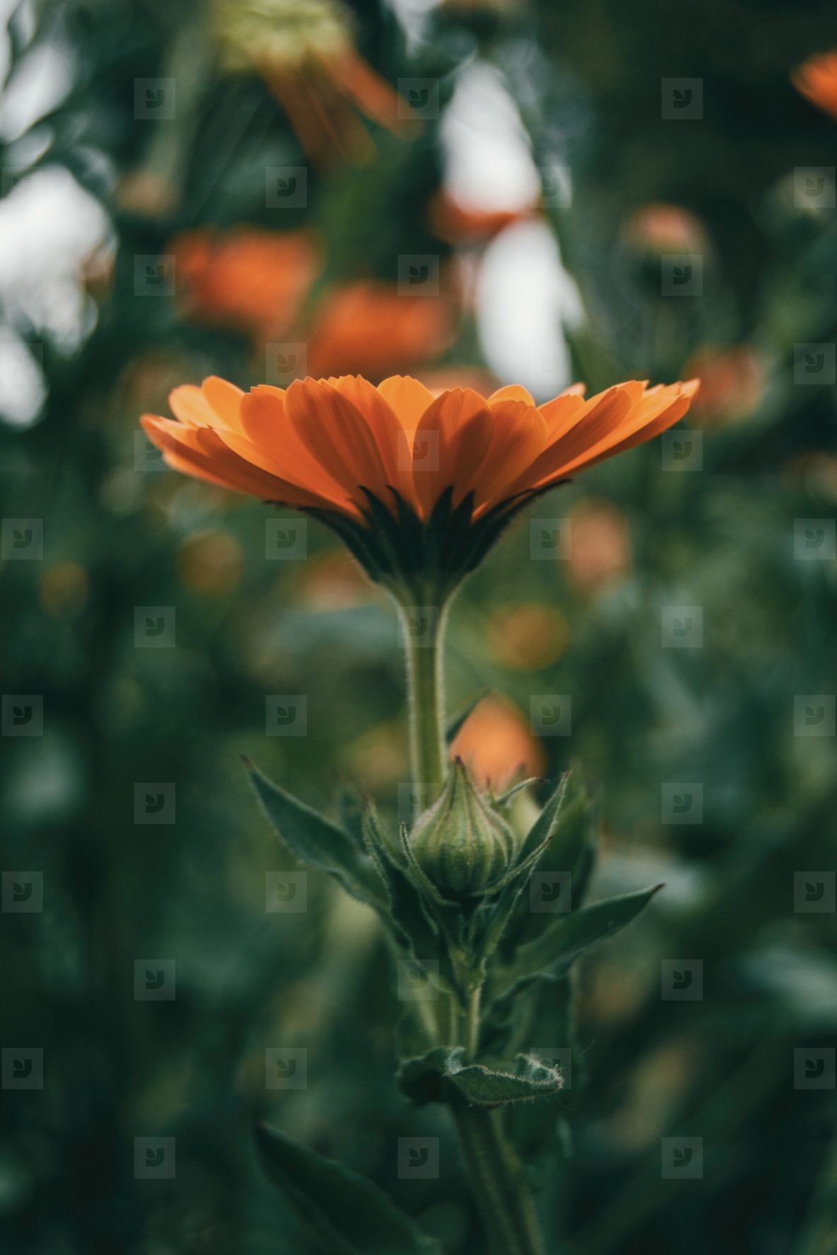 a single orange flower of calendula officinalis seen from below