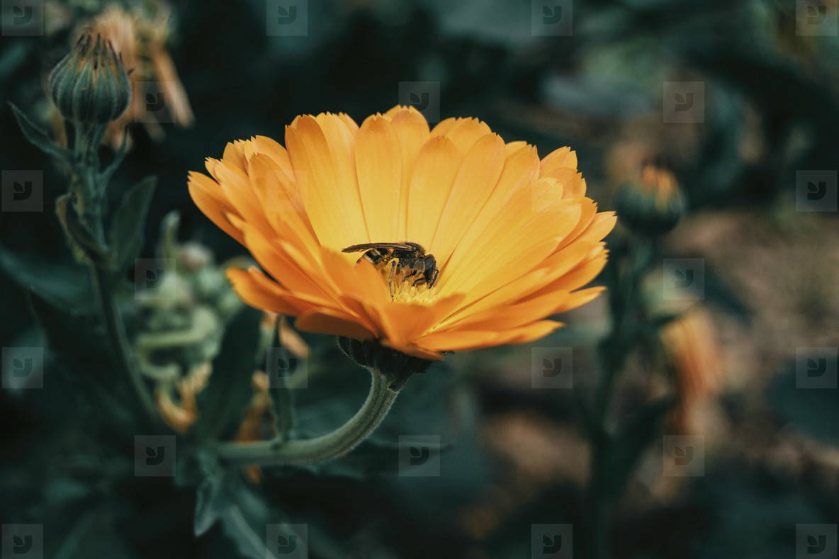 a bee catching pollen from an orange calendula