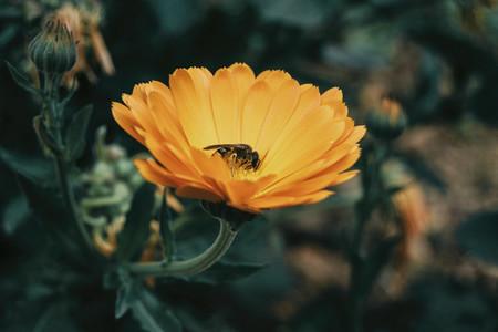 a bee catching pollen from an orange calendula
