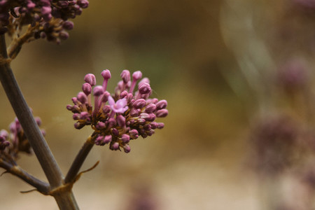 inflorescence of pink unopened flowers of valerian