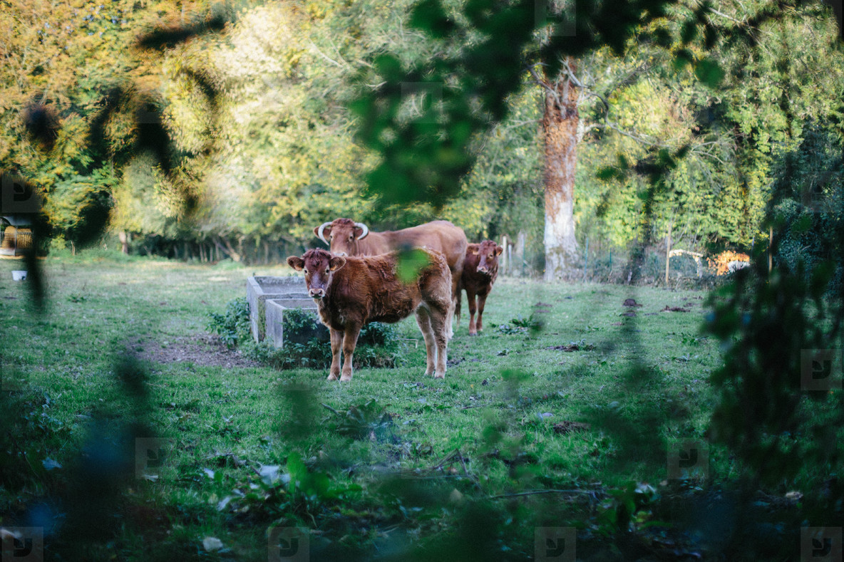 Cows in Normandy
