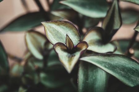 tradescantia zebrina leaves with a heart shape