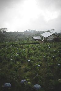 Blue Hydrangea Plants