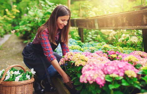 Woman selecting a pink hydrangea at a nursery