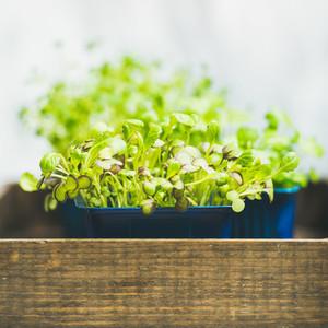 Fresh spring green live radish kress sprouts  square crop