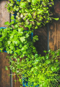 Homegrown radish kress  water kress and coriander sprouts