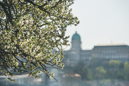Blooming tree at Danube Pest embankment  Buda castle at background