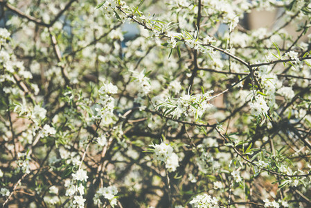 Blooming tree wallpaper texture or background