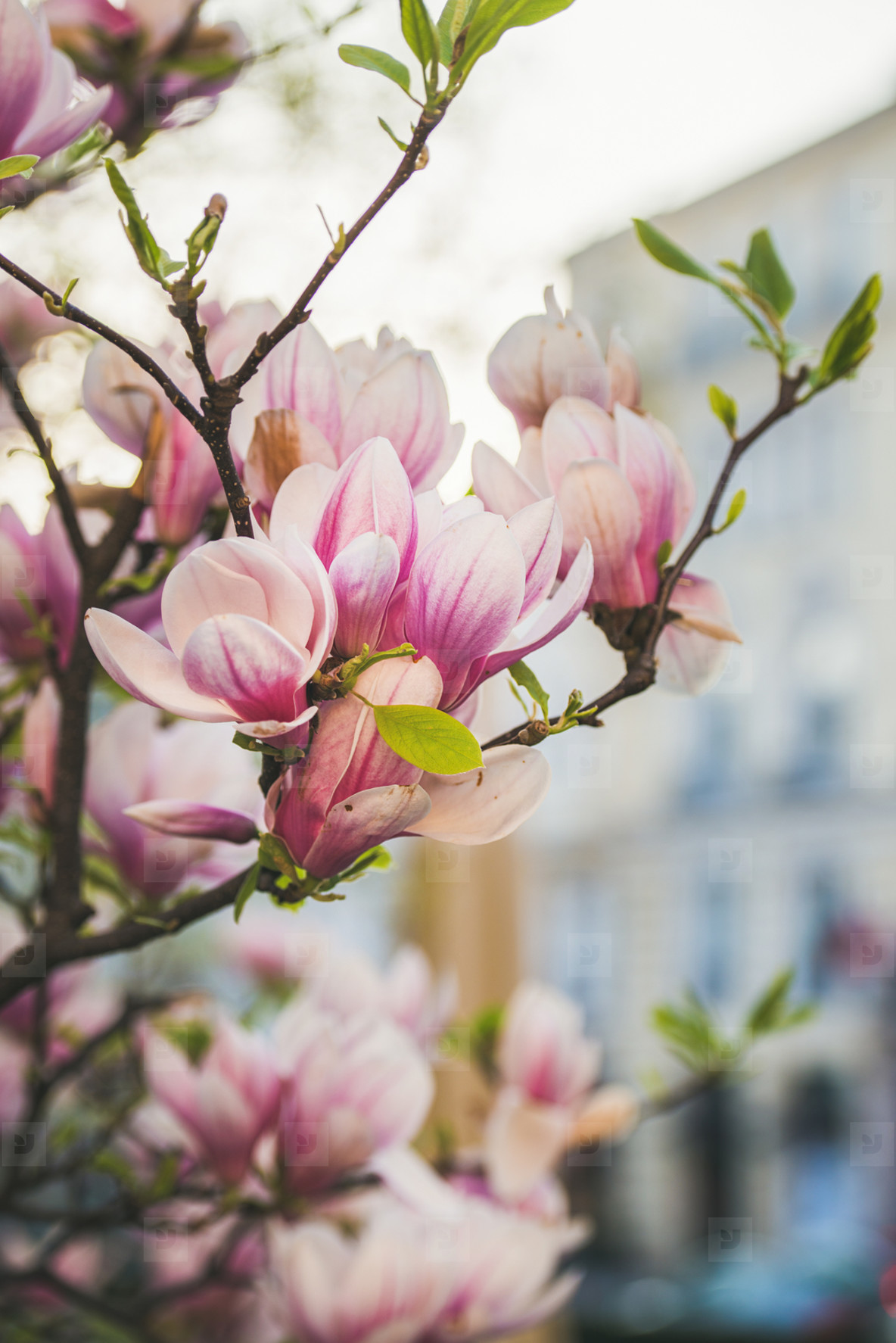 Blooming magnolia tree with flowers