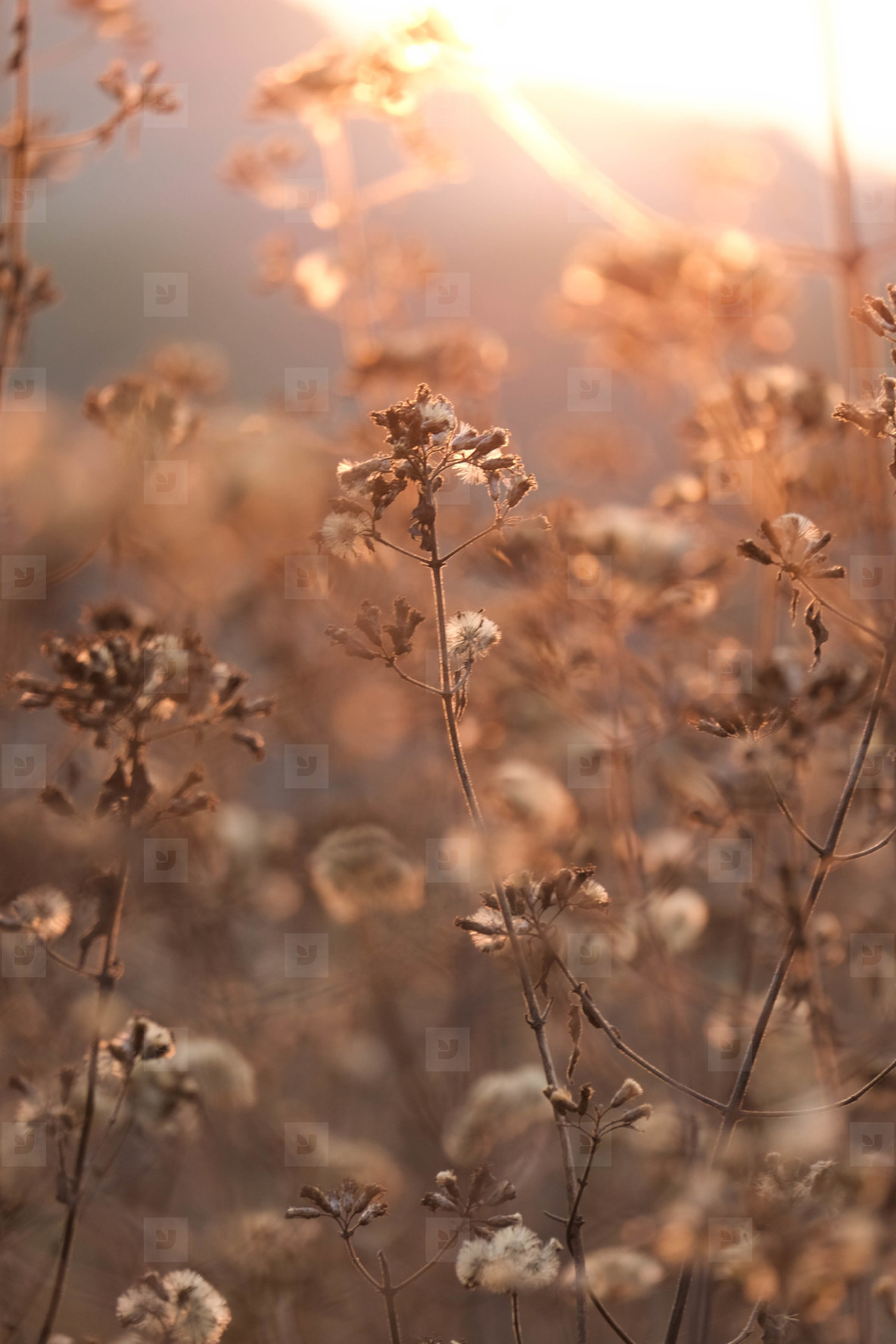 Dry grass flowers in sunset time