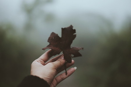 Woman hand holding maple leaf