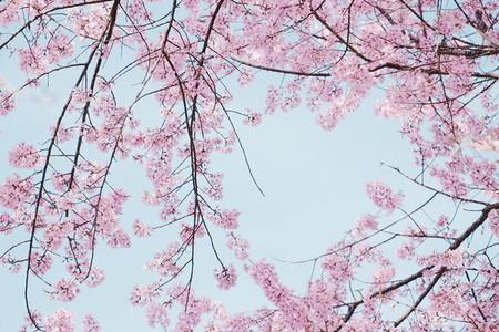 Cherry blossom 01
