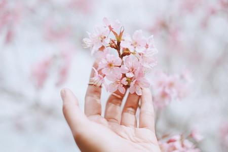 Cherry blossom 03