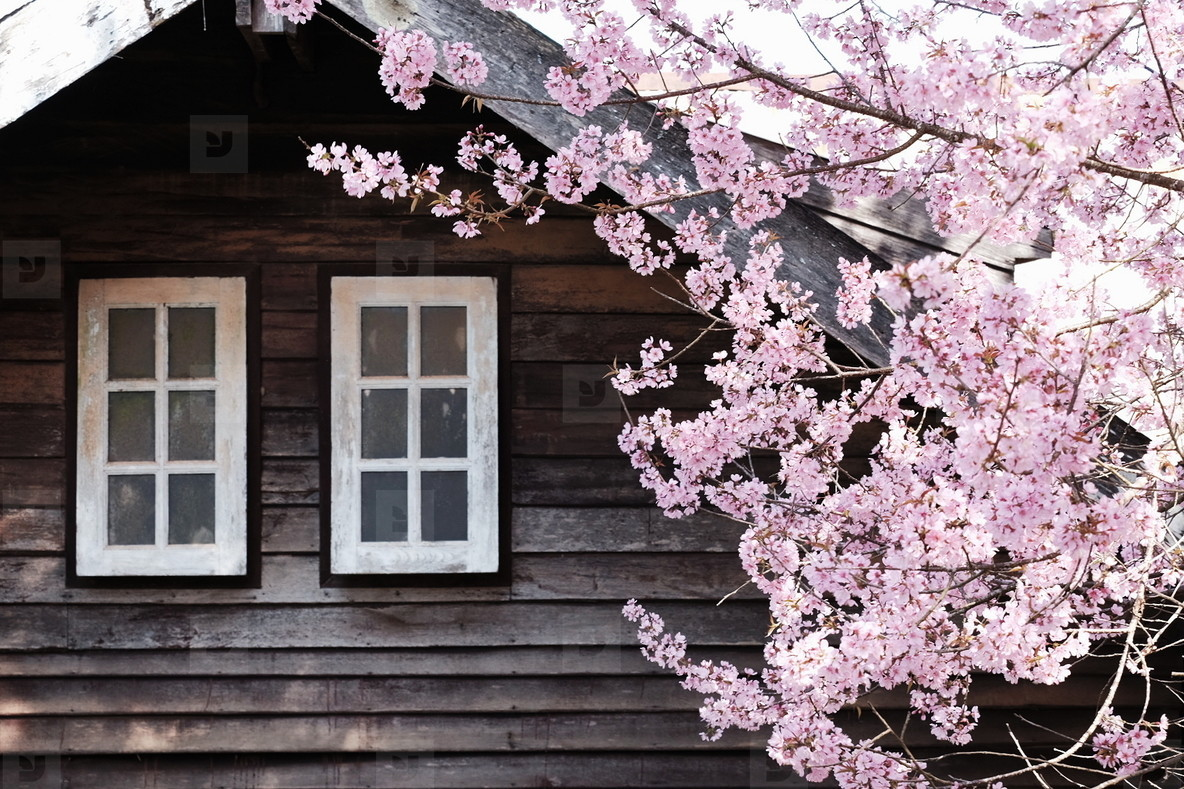 Cherry blossom at front of house