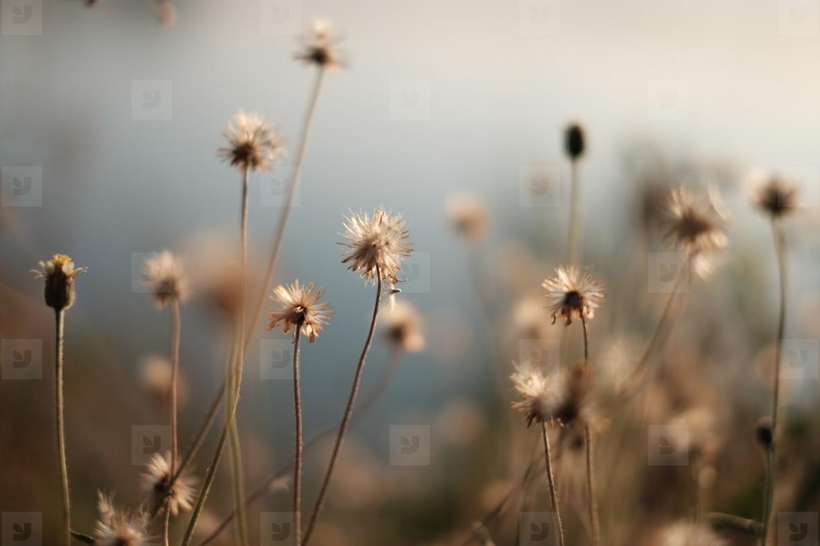 Dry grass flowers