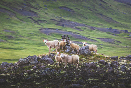 Herd of sheeps on lava fields