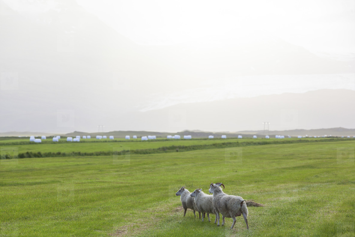 Green meadows with sheeps