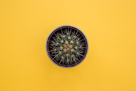 Cactus plant in pot on yellow background