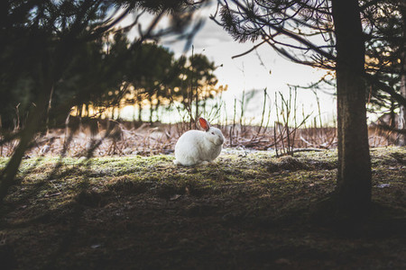 A wild rabbit in Reykjavik